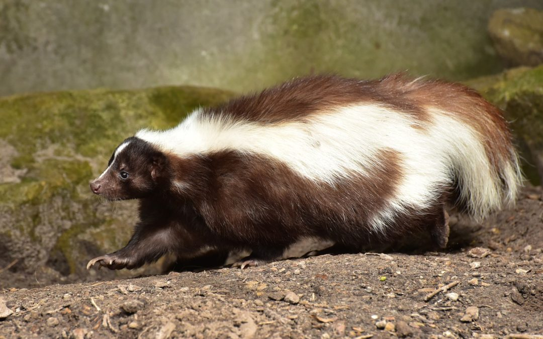 20 Interesting Facts about Skunks